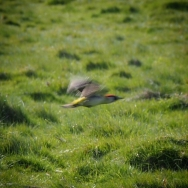 Green Woodpecker (or Yaffle) in flight.