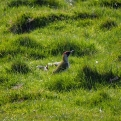 Green Woodpecker.