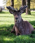 Red deer in Bushy Park.