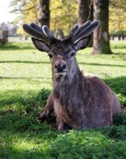 Red deer in Bushy Park.