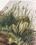 Albrecht Durer, Great piece of turf
